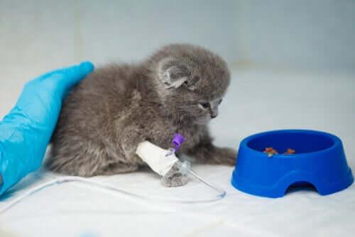 Tratamento para a anemia em gatos