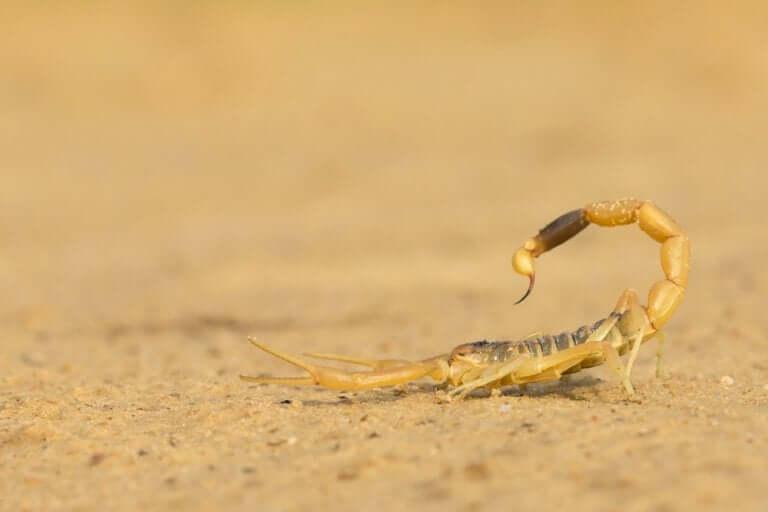 Escorpião na areia