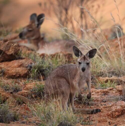 Marsupiais australianos