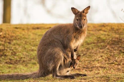 Características do marsupial Macropus Robustus