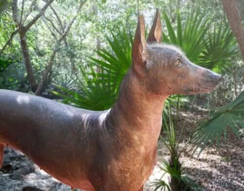 Cão da raça pelado mexicano
