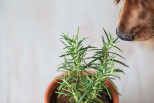Alecrim e zimbro: ervas aromáticas e saudáveis