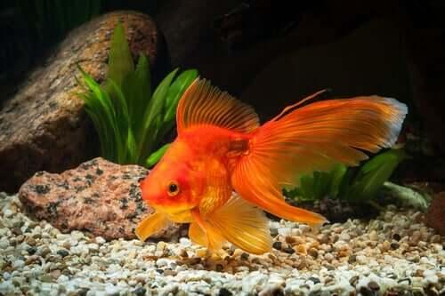 Qual deve ser o tamanho do aquário para um peixe-dourado?