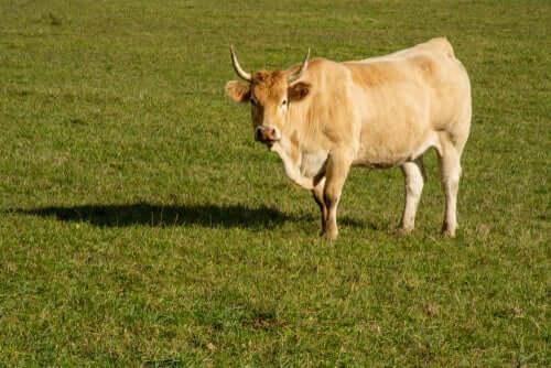 Raças nativas da Catalunha: a vaca pirenaica