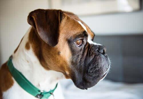 Cachorro com olhar perdido
