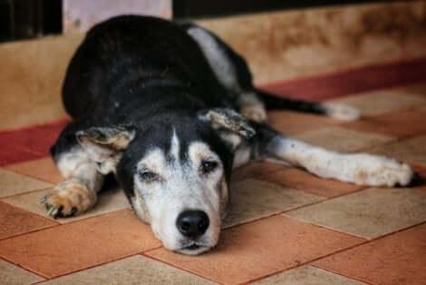 Cachorro idoso deitado