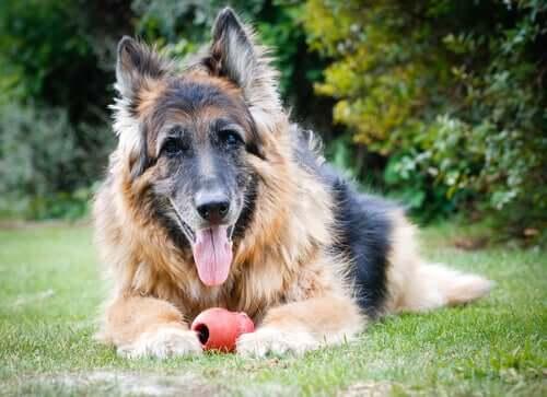 Pesquisa explica como os cães envelhecem