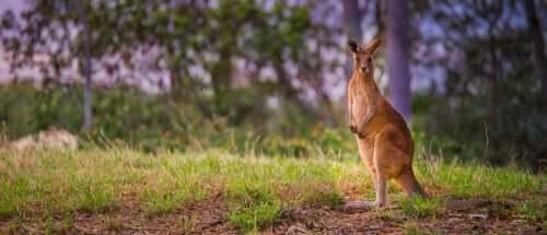 Características e curiosidades sobre o canguru