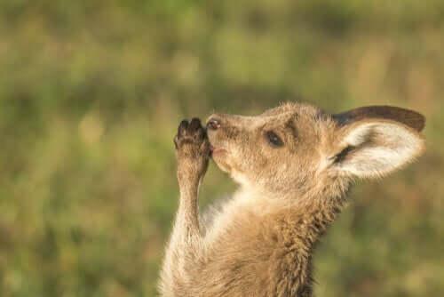 Filhote de canguru
