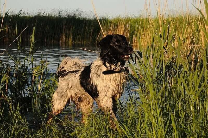 Temperamento do cão d'água frisão