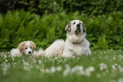 Os cães reconhecem seus parentes caninos?