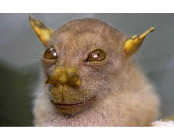 Características do morcego yoda