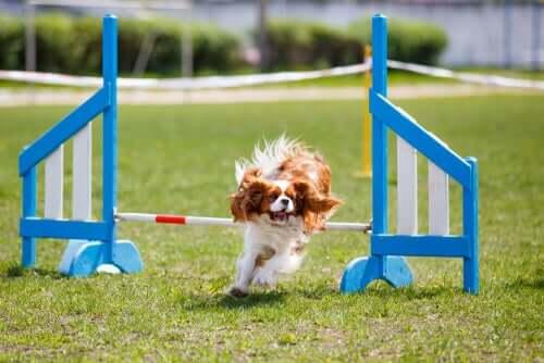 Cavalier King Charles Spaniel se exercitando
