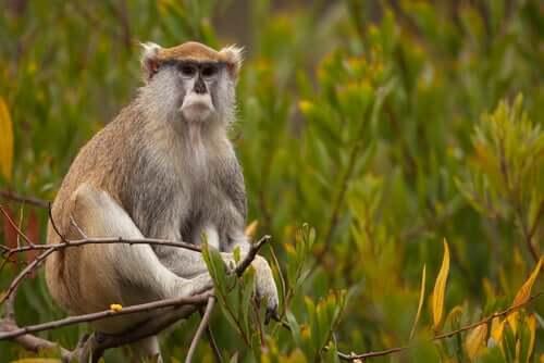 Conheça o macaco-pata