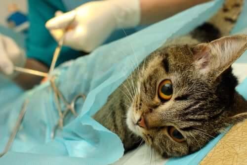 Cuidados básicos para o pós-operatório do seu gato