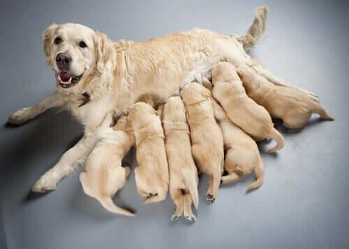 Filhotes mamando na mãe