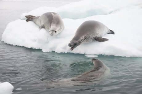 Espécimes de foca na Antártida