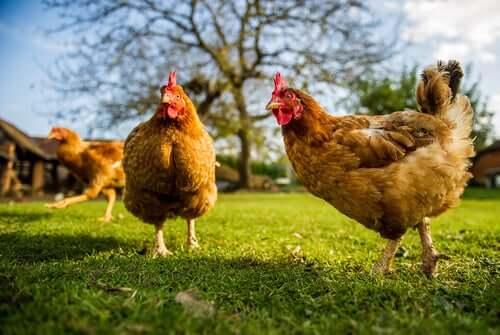 Raças de galinhas nativas da Catalunha