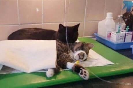Gatos se recuperando da anestesia
