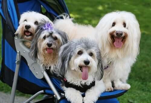 Os riscos de humanizar os cães