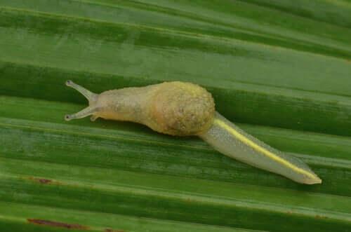 Lesma de Bornéu