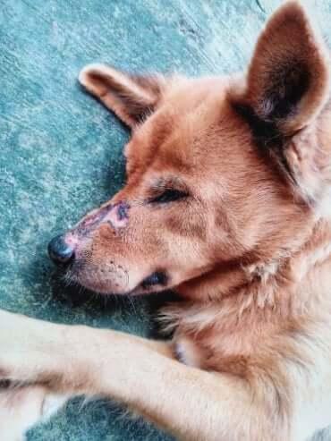 Cachorro com infecção no nariz