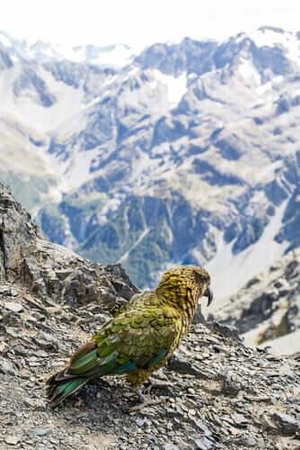 Extinção do kakapo e medidas de conservação