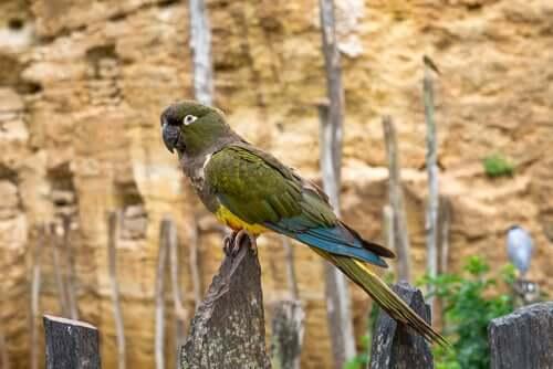 Kakapo: alimentação e reprodução