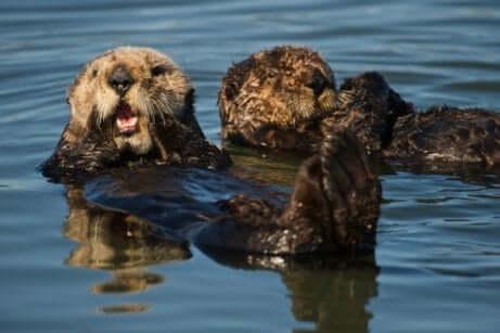 Lontras boiando na água