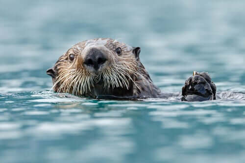 Lontra-marinha: características e alimentação
