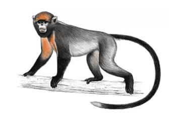O macaco de nariz arrebitado famoso por espirrar