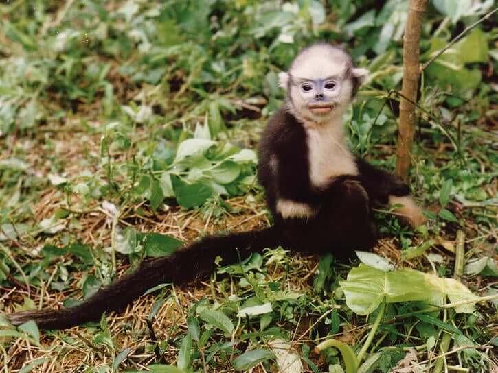 Macaco de Tonkin