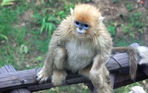 Macaco dourado