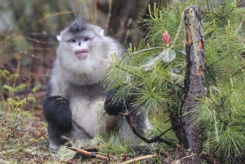 Macaco de nariz arrebitado famoso por espirrar