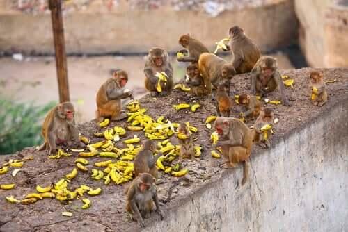 Onde vive o macaco-rhesus?