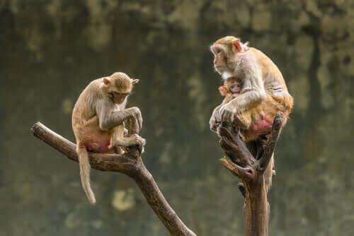 Macacos-rhesus com filhote
