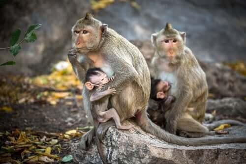 Conheça o macaco-rhesus