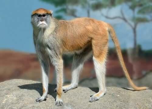 Macaco-pata na natureza