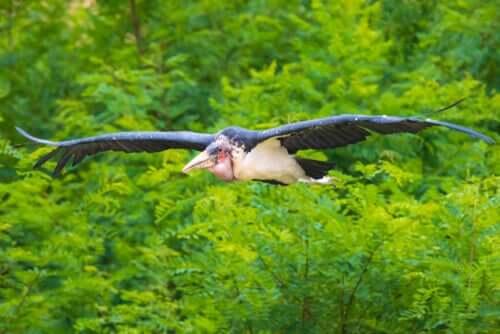 Marabu africano voando