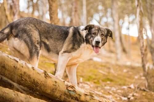 Raças extintas de cães da antiguidade