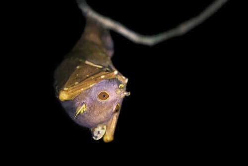 O morcego do nariz de tubo