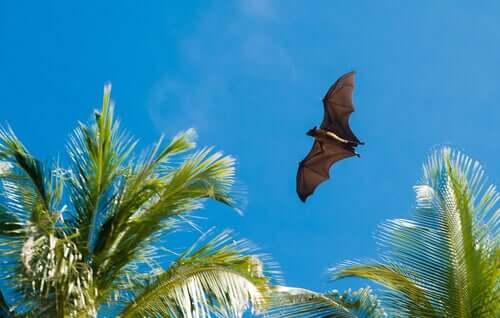 Morcego voando