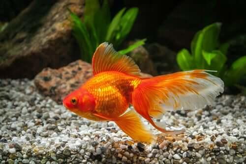 Tamanho do peixe-dourado quando adulto