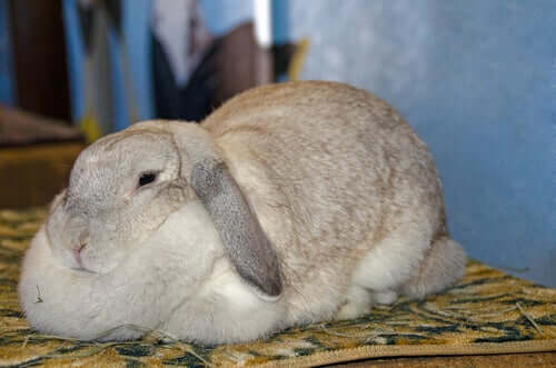 Obesidade em coelhos: sintomas e causas