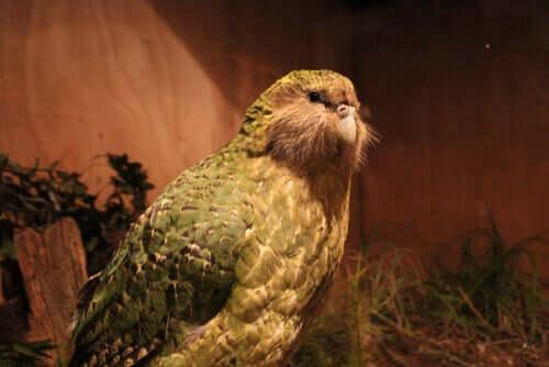 Papagaio gigante é descoberto na Nova Zelândia