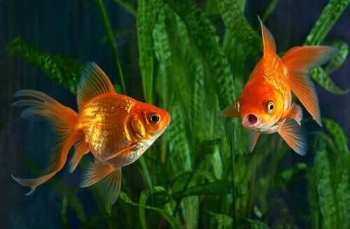 Espécies de peixe-dourado