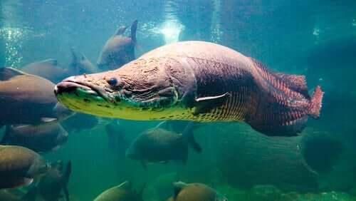 Conheça o pirarucu gigante da Amazônia