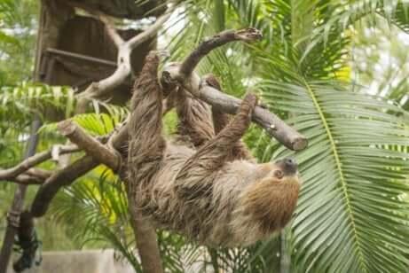 Morfologia da preguiça-de-dois-dedos