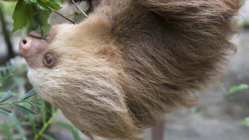 Características da preguiça-de-dois-dedos
