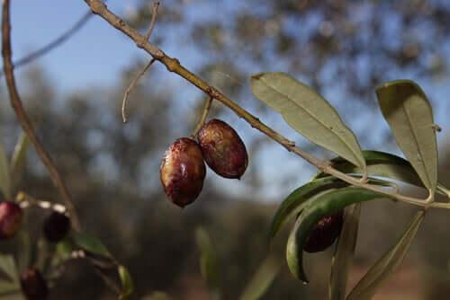 Propriedades das folhas de oliveira como antibiótico para cães